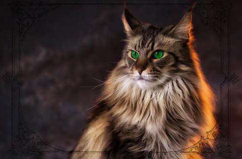 Мейн-кун енотовая кошка
